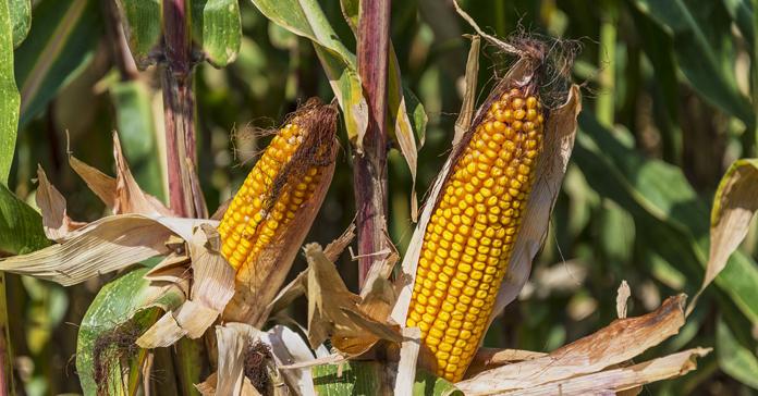 odmiany kukurydzy, kukurydza