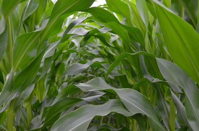 Kukurydza – nowy produkt na Giełdowym Rynku Rolnym