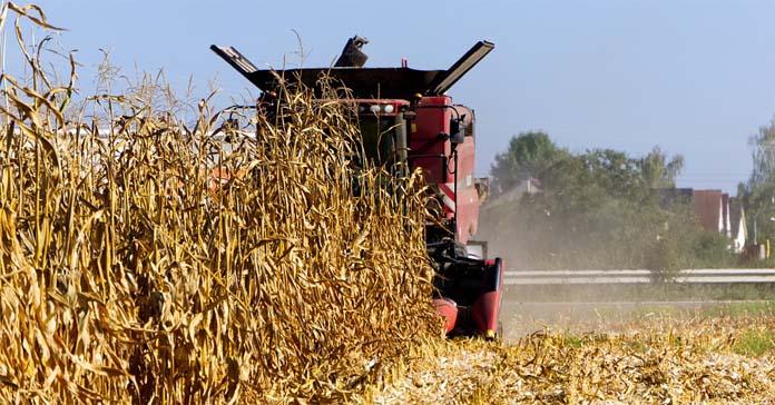 COBORU, kukurydza, wczesne odmiany kukurydzy, odmiany kukurydzy,