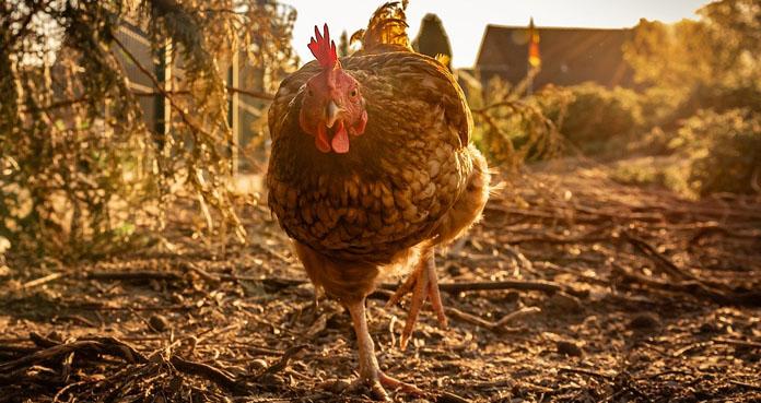 Potężny wysyp ognisk ptasiej grypy