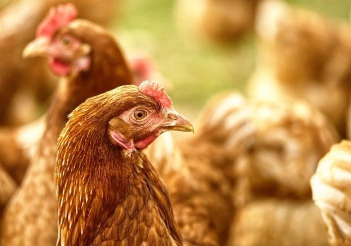 GIW:  10 nowych ognisk ptasiej w stadach kur i kaczek