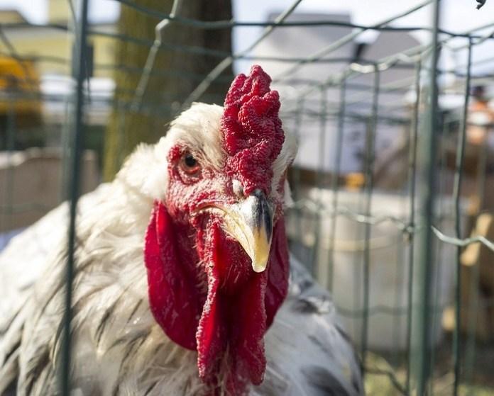 Uwaga producenci drobiu poszkodowani wystąpieniem wysoce zjadliwej grypy ptaków