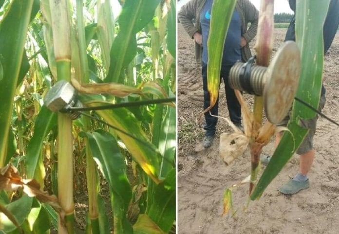 metalowe elementy na pędach kukurydzy, rolnik, rolnictwo, sieczkarnia, Mława, policja, pułapki na rolników