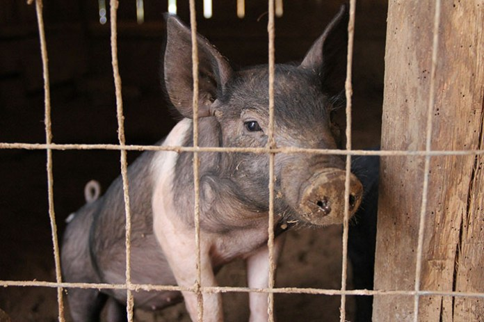 KE wprowadza wzmocnione środki dla hodowców świń w strefach ASF