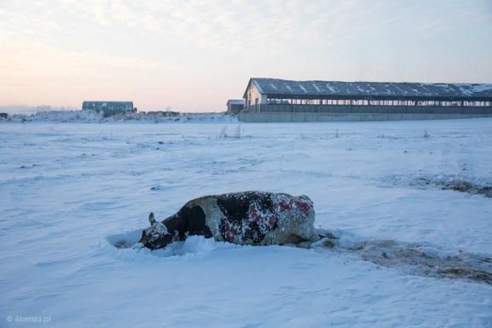 Ponad sto krów spaliło się żywcem