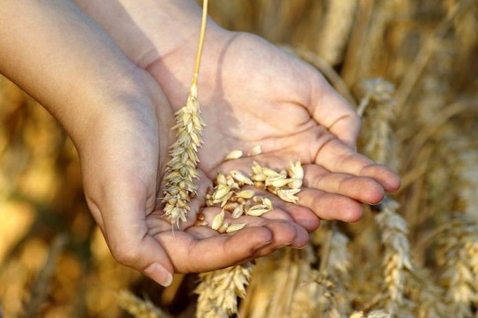 pszenica, odminy pszenicy, pszenica jara, odmiany pszenicy jarej, Merkawa, Alibi, COBORU