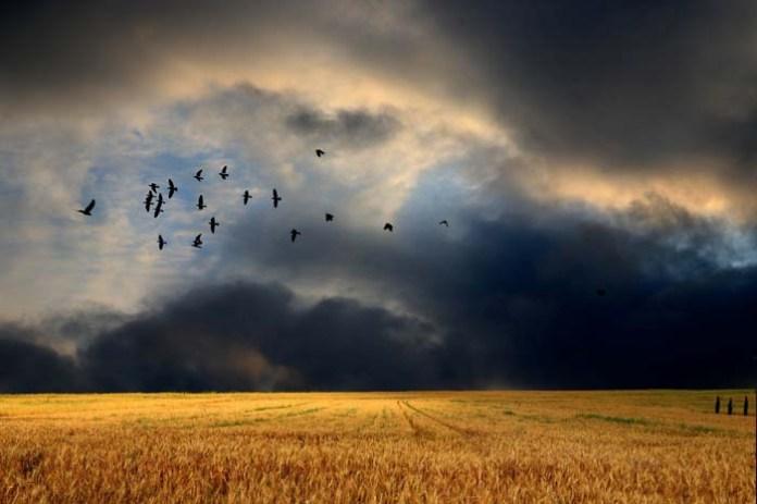 Resort klimatu odpowiada na wniosek KRIR w sprawie strat wyrządzanych przez ptaki w uprawach polowych