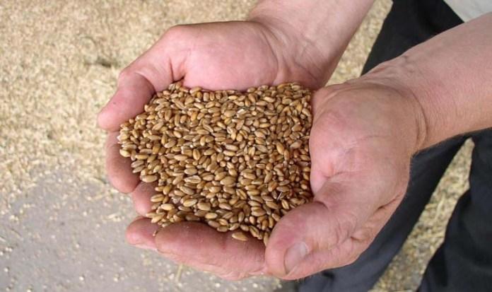 rolnik,rolnictwo,zboża,zysk rolnika,pszenica,pszenżyto,jęczmień,kukurydza,żyto,KOWR