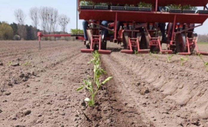 Rozsada pomidora gruntowego już w polu
