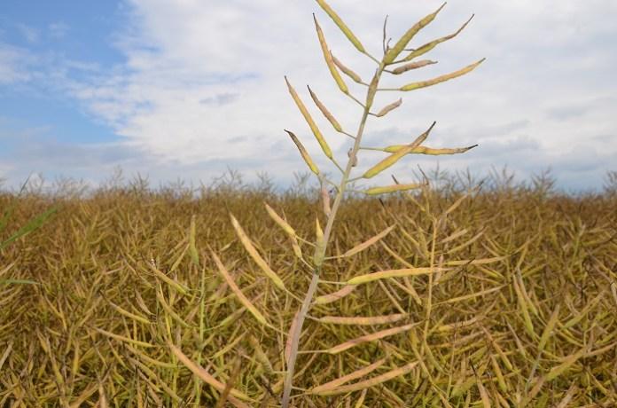 Rzepak: najwyższy poziom cen nasion w historii