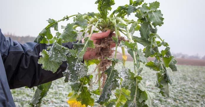 rzepak, Innvigo, fungicydy, herbicydy, regulator wzrostu, Mepik, Metax, Efector