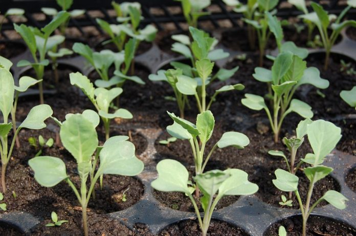 Sadzenie rozsad, rozsady, system korzeniowy, mikroorganizmy, mikroorganizmy glebowe, Trichoderma, Gliocladium, mikroorganizmy ryzosferowe, Bacillus megaterium, warzyw kapustnych