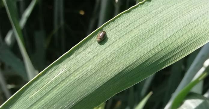szkodniki, insektycydy, hormony peptydowe owadów, owady, środki owadobójcze, szkodniki, pszczoły, bezpieczeństwo żywnościowe, ekspresja genów
