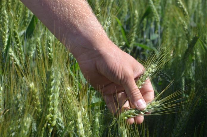 susza, IUNG, walka z suszą, zboża, rzepak, kukurydza