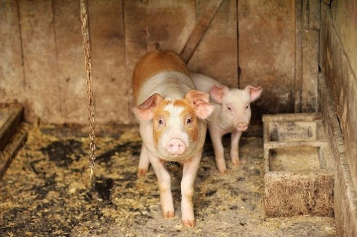 Dramatycznie spada ilość hodowli świń w Polsce