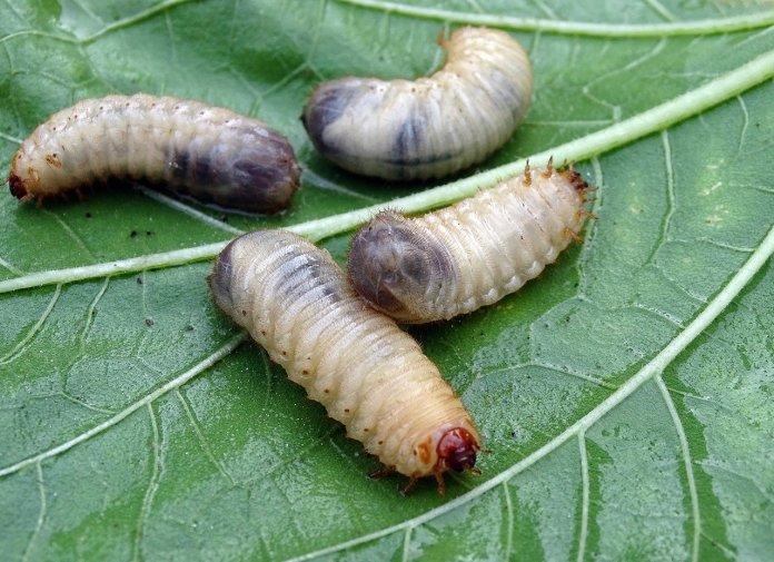 """Larwy chrząszcza uznane za """"nową żywność"""""""