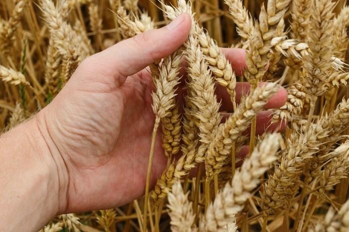 Za nami kolejny tydzień olbrzymich wzrostów na giełdowym rynku zbóż i oleistych