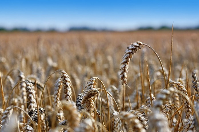 Jest duża szansa na pobicie rekordu w eksporcie zbóż poza UE