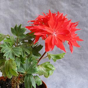 Tips untuk Bunga: Merawat Geranium di Rumah