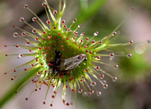 РОСЯНКА - фото растения, описание цветка, выращивание