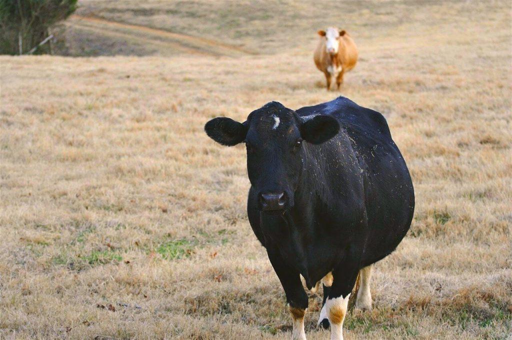 معرفة ما البقرة حامل