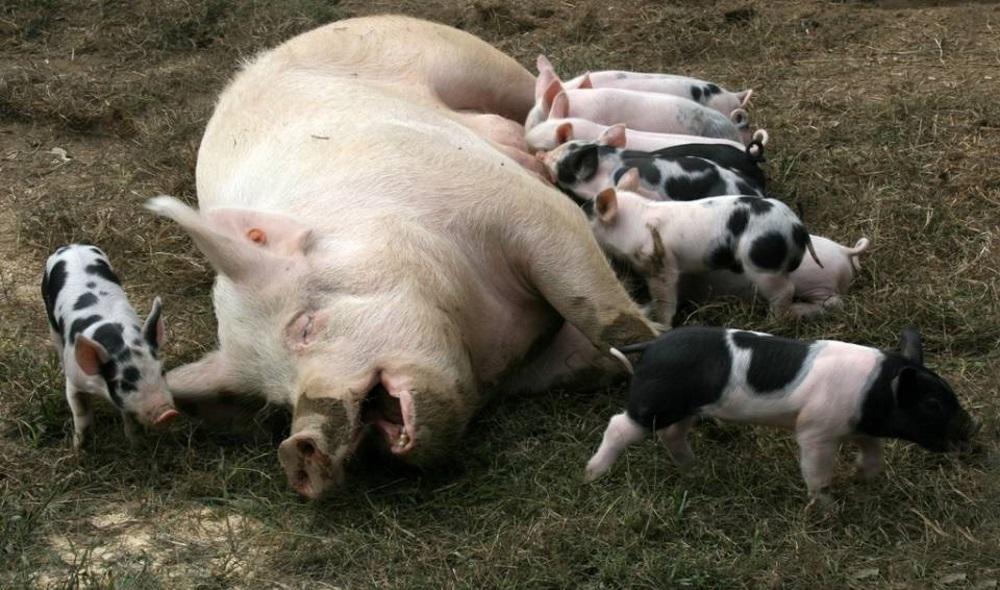 опорос свиней первый раз