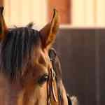 Rarest Horse Breeds In The World Critical And Threatened Horse Breeds