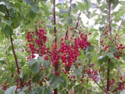 Описание и характеристики церепадуса, полезные свойства гибрида вишни и черемухи, посадка и уход. Выращивание гибрида вишни и черемухи