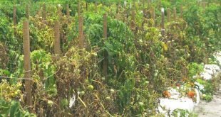 Fusarium wilt of tomato control