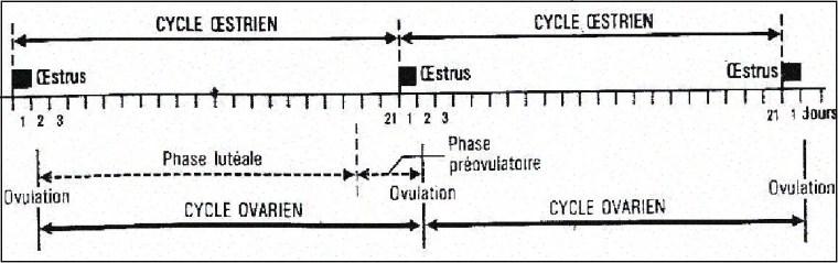 Figue 1: Cycle sexuel de la vache.   (Gilbert et al, 1988)