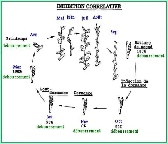 """(CHAMPAGNAT, 1989 in HERTER, 1992)  Figure n° 12: Schéma du cycle de développement des bourgeons sur une pousse feuillée puis un rameau """"d'un an"""" d'un arbre fruitier"""