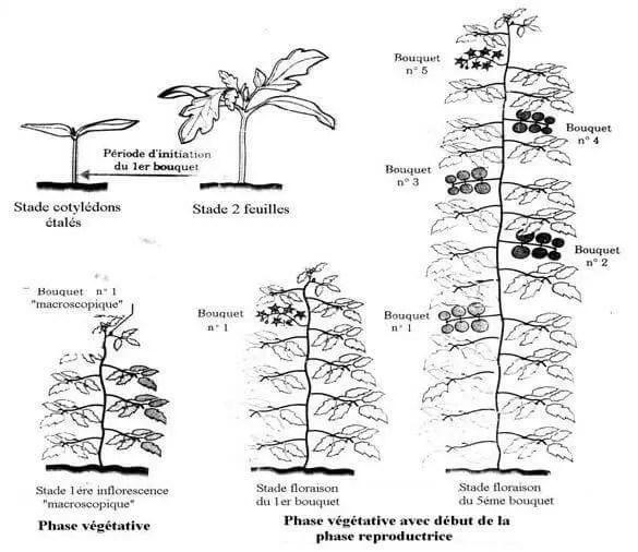 Figure 04: Les stades de développement de la tomate (WACQUANT, 1995).