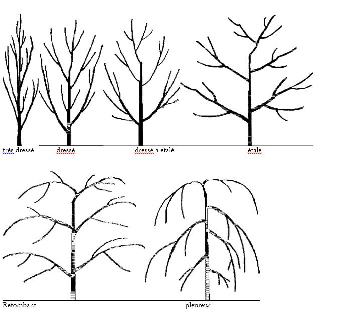 Figure N°1: Les différents types de ports rencontrés chez l'abricotier (UPOV, 2007)