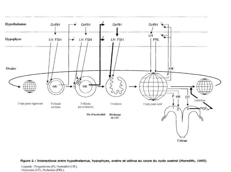La régulation neuro-endocrine du cycle sexuel