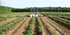La fertilisation en irrigation localisée ou fertigation