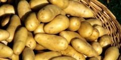 Economie de la pomme de terre