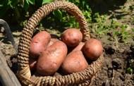 La fertilisation de la pomme de terre