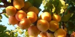 Généralités sur l'abricotier