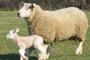 parametres de reproduction chez les ovins