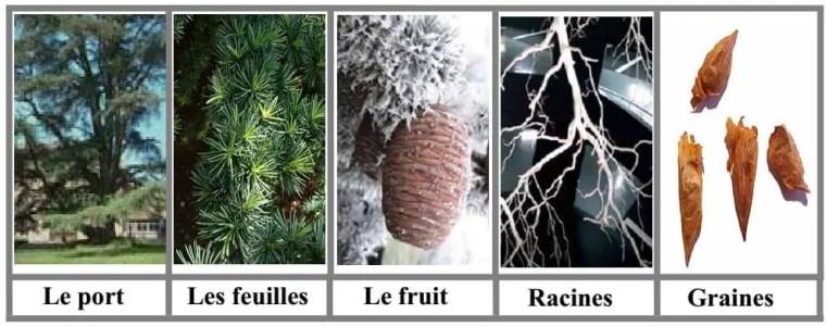 Figure 1: Caractères botaniques