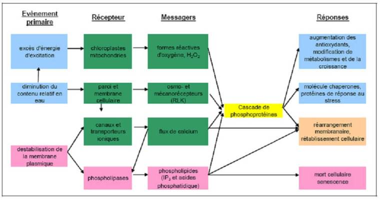 Figure 18: Voies de perception du stress d'après Kasperska, 2004