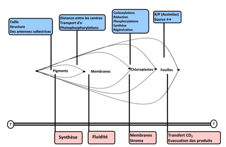 Figure 19: Schéma de l'emboîtement des structures de l'appareil photosynthétique