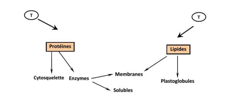 Figure 20: Action des températures sur les pools protéiques et lipidiques cellulaires