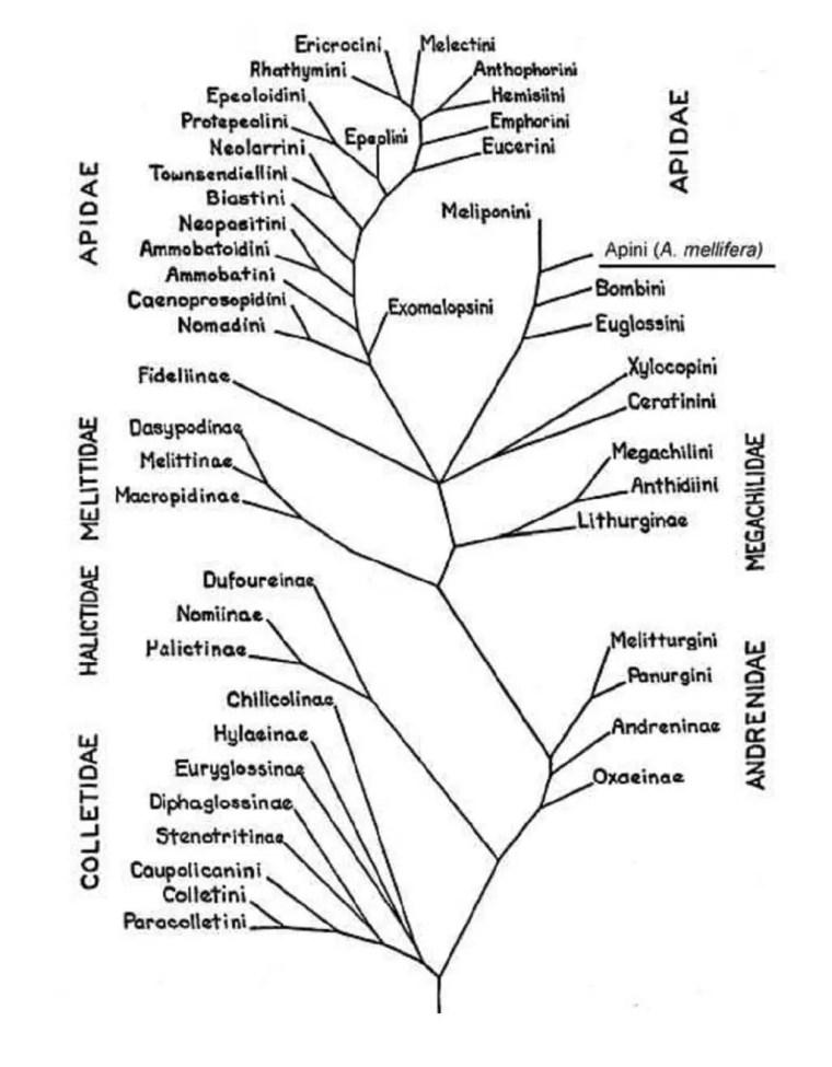 Figure 13 : Phylogénie des Apoïdes basée sur la morphologie des adultes (d'après Michener, 1944)