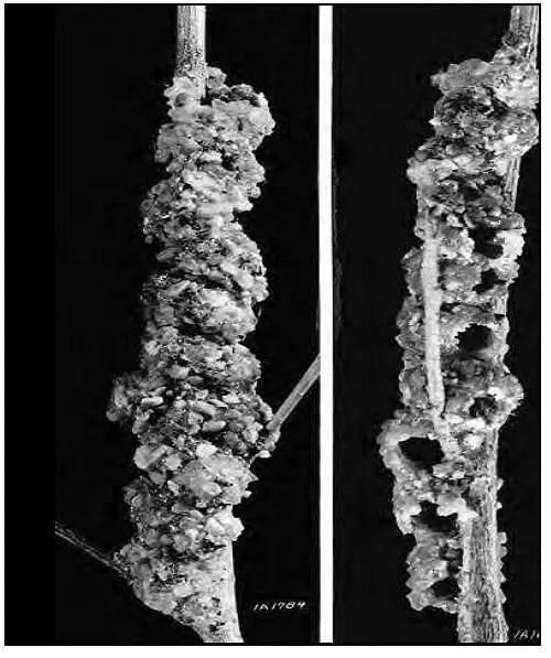 Figure 16. Les cellules de l'abeille Anthidiine, Dianthidium concinnum (Cresson), faites de cailloux et de résine, construit sur une tige d'orme dans le Kansas (Amérique du Nord). Les ouvertures d'émergences sont présentées sur la photo droite (Fischer, 1951 dans Michener, 2000)