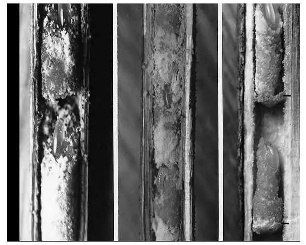 Figure 17. Pièces de trois nids de Heriades spiniscutis (Cameron) dans des tiges sèches mortes. Le nid à droite a des cloisons minces en fragments de moelle entre les cellules, les cloisons sont marquées par lignes horizontales. Les autres nids manquent de partitions. Tous les nids contiennent des œufs ou des larves très jeunes et dans les extrémités supérieures des masses de provisions ( Michener, 2007).