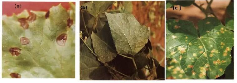 Figure 5 Tache ocellée (cercosporiose de la laitue) (a); Rouille des feuilles duharicot (Uromyces appendiculatus) (b). Nécrose totale de la feuille de melon. (c).Source: Declert, 1990.