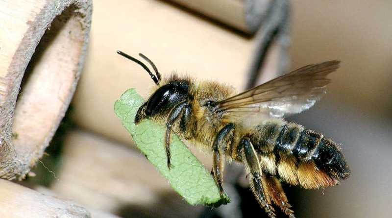 Biogéographie et Monographie des Megachilidae (Hymenoptera : Apoidea) dans le Nord Est algérien