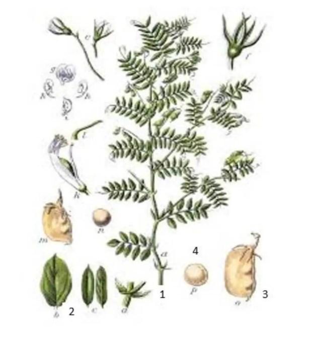 Figure 1 : Morphologie d'une plante de lentille : (1) Plante, (2) Feuilles, (3) Gousse, (4) Graine.