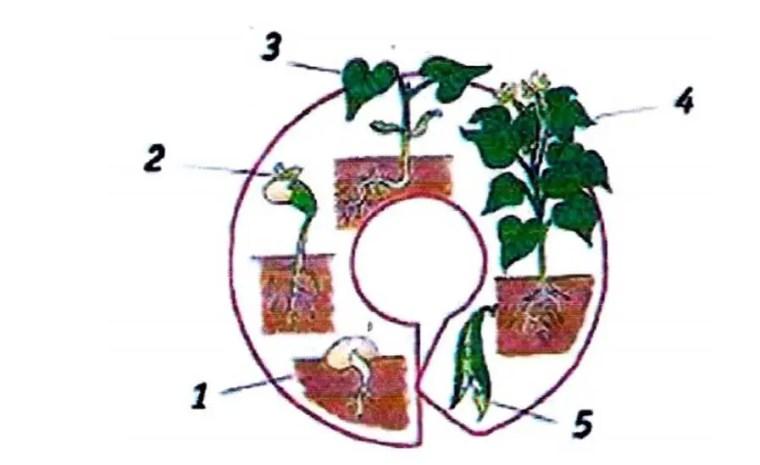 Figure 2 : Cycle biologie de lentilles : (1) Graine, (2) Germination, (3) Croissance,(4) Floraison, (5) Fructification.